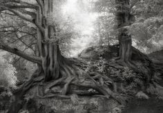 The Yews of Wakehurst in England. - Credit: Courtesy of Beth Moon