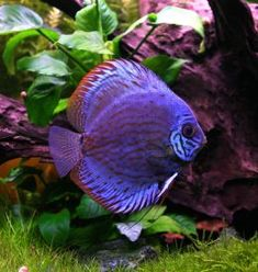 Discus (Symphysodon spp.) are a genus of three species of cichlid freshwater fishes native to the Amazon River basin. Discus are popular as aquarium fish and their aquaculture in several countries in Asia is a major industry.