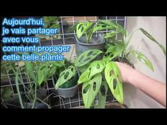 Monstera Adansonii - Comment se Propager - YouTube Belle Plante, Tutorials, Gardening, Youtube, Plants, Lawn And Garden, Plant, Youtubers, Youtube Movies
