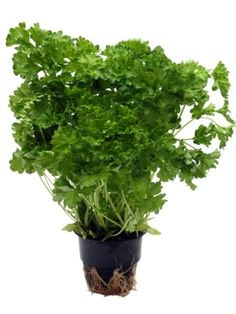How to Plant Parsley at Home. Parsley is an aromatic herb widely used in the kitchen and although it is easy to find in grocery stores, what's better than growing it yourself and always. Aromatic Herbs, Parsley, Pesto, Plants, Gardening, Tips, Decor, Decoration, Lawn And Garden