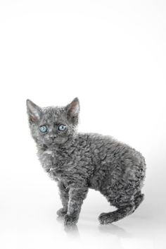 TASMAN REX aka TASMAN MANX: Curly coated kittens began showing up in purebred Manx litters in New Zealand and test mating to Devon and Cornish Rex showed that this was a new recessive gene.  The Manx Rex aka Curly Coated Manx strain is now called the Tasman Manx. http://messybeast.com/curly-cats-rex.htm