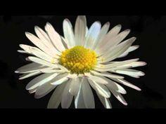 Buonanotte Fiorellino De Gregori video ufficiale 60 years old tribute cover