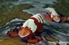 Nature's Beauty Emperor shrimp