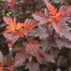 Ginger Wine™ - Ninebark - Physocarpus opulifolius