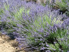 Cache Creek Lavender Festival, held each June, features all things lavender, music, wine, u-pick lavender and more!
