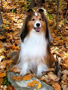 Sable Autumn Sheltie by KrystalJ on deviantART