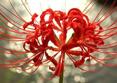 1000+ images about Tatto ref * Spider lily on Pinterest ...