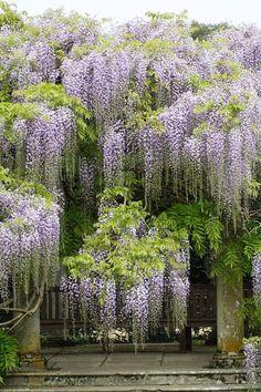 Wisteria Amazing Garden
