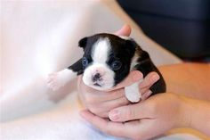 Boston Terrier Puppy.