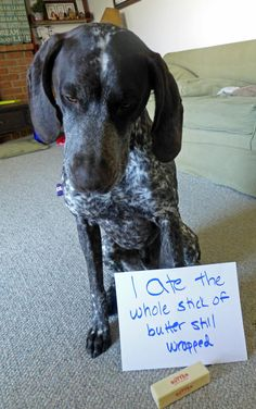 Joining in the Dog Shaming with our GSP Teague