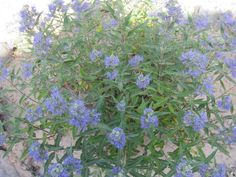 Blue Mist Bush