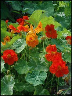Nasturtium- small leaves in salads (peppery) and pods for caper sub. My Secret Garden, Nasturtium, Flower Garden, Edible Plants, Planting Flowers, Plants, Florida Gardening, Healing Garden, Beautiful Flowers