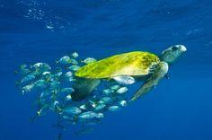 A tartaruga-oliva (Lepidochelys olivacea) é considerada vulnerável pela  IUCN (União Internacional para a Conservação da Natureza, na sigla em inglês) - Foto: Banco de imagens Tamar