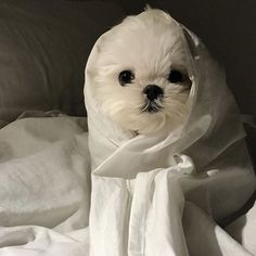 Cute Dogs And Puppies, Baby Dogs, Doggies, Cute Little Animals, Little Dogs, Animals And Pets, Funny Animals, Maltese Dogs, Cute Creatures