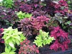 part of the coleus collection
