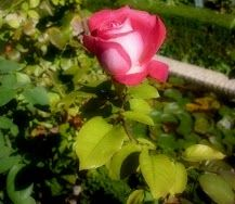 Rosa.Belleza acuática