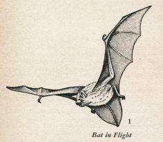 Ivan Sanderson: Bat in Flight, via emigrejukebox.tumblr.com
