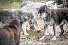 <3 <3 Loups <3 <3 ******