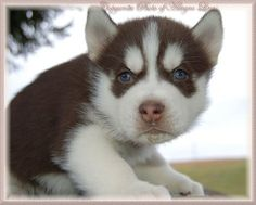 Google Image Result for http://www.siberianhuskies.net/pg4_red_siberianhusky_23.jpg