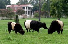 The Belted Galloways at The Hermitage, Home of President Andrew Jackson