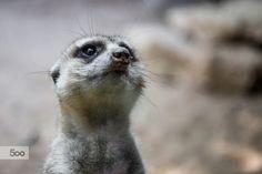 Timon, the meerkat by Javier Cazorla Arrabal on 500px