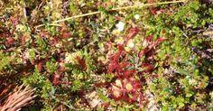 Round-leaved sundew Drosera rotundifolia http://ift.tt/2hS7SSv