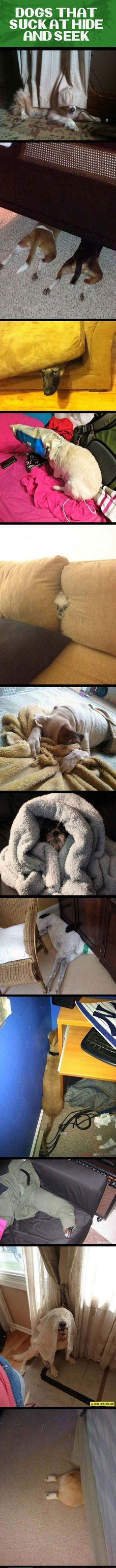 Dogs that are really bad at hide and seek... - The Meta Picture