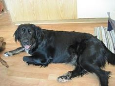 Courtesy Posting - Jade is an adoptable Newfoundland Dog Dog in Northfield, MN. Please go to our website http://www.aangelsrescue.com/ for more info and Pictures of this animal...