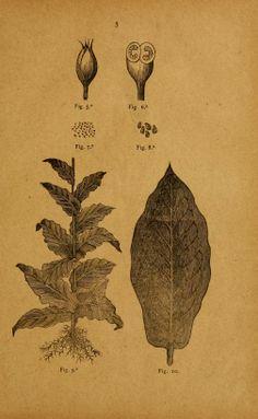 El tabaco / - Biodiversity Heritage Library