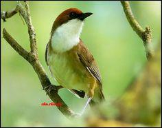 白喉噪眉 (白喉笑鶇) White-throated Laughing-thrush (Garrulax albogularis ruficeps) ※特有亞種 / 珍貴稀有動物