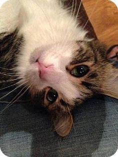 Tustin, CA - Domestic Longhair. Meet Koty, a cat for adoption. http://www.adoptapet.com/pet/10256968-tustin-california-cat