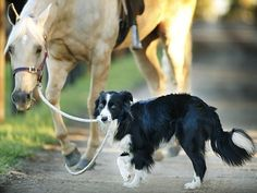 This Border Collie Isn't Just A Pet -- He's A Talented Horse Trainer And Equestrian