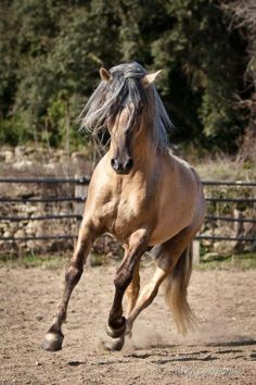 stallion Merveillous - his exact breeding is unknown, but he's described as of Iberian ancestry