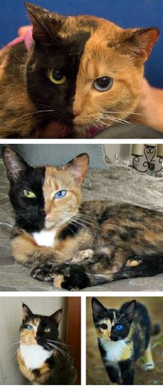 Venus the chimera cat may not be chimera at all  http://news.nationalgeographic.com/news/2012/08/120831,