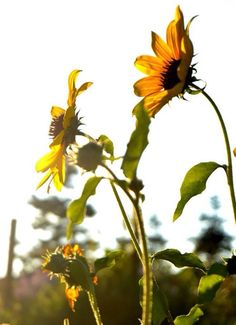 Beautiful Sunflowers in a field at Hogle Zoo