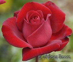 Ingrid Bergman - dark red, 35-40 petals, 1984, rated 7.9 (very good) by ARS.: