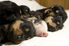 Ham-azing Friendship: Apple Sauce the Piglet sleeps with a litter of Rottweiler Pups after she was abandoned by her Mother at Birth