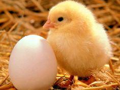Yumurtanın yanında şirin sarı bir civciv / Hayvanlar ve Hayvan ...