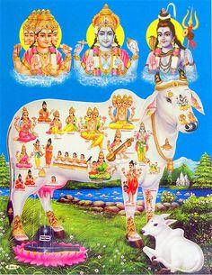 Kamdhenu - the holy cow