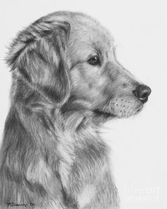 Golden Retriever Puppy In Charcoal One by Kate Sumners #charcoaldrawings