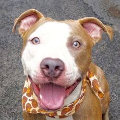 URGENT -**PUPPY ALERT** -MARTIN – A1080399 MALE, BR BRINDLE / WHITE, AM PIT BULL TER, 1 yr STRAY – Intake Date 07/08/2016, From NY 10037, DueOut Date 07/11/2016, I came in with GINA- Group/Litter #K16-064649. http://nycdogs.urgentpodr.org/martin-a1080399/