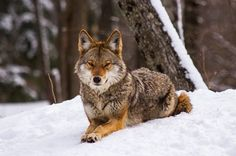 Native wolves had been eradicated and the forests of the eastern United States long cut down when residents of western New York first began to notice the a Wild Creatures, Magical Creatures, Animals And Pets, Cute Animals, New York One, Long Cut, Wild Dogs, Forests, Rocky Mountains