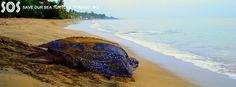 Leatherback - http://sos-tobago.org/