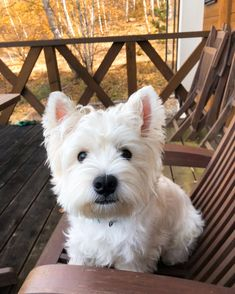 Dog Running .Dog Running Westie Puppies, Cute Puppies, Dogs And Puppies, Chihuahua Dogs, White Terrier, Terrier Mix, Terriers, Terrier Dog Breeds, Raining Cats And Dogs
