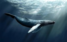 Sounds like a whale of a tale, but ... there are some whales alive today that were born before 'Moby Dick' was written in 1851. Found in the icy waters off Alaska, some of these so-called 'bowhead' whales are over 200 years old.