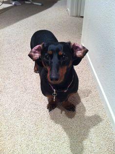 The cosmopolitan look #dachshund