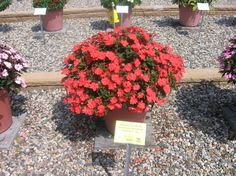 "Sunpatiens ""Spreading Corona""   Profuse bloomer and will withstand full sun and heat with adequate moisture. More durable than New Guinea impatiens."