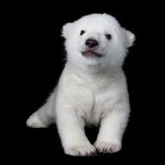 Polar Bear by ZooBorns for iPhone Black Bezel Deflector Baby Zoo, Baby Polar Bears, Cute Polar Bear, Polar Cub, Cute Baby Animals, Funny Animals, Wild Animals, Bear Cubs, Grizzly Bears