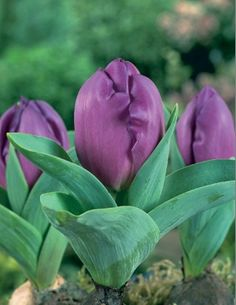 Tulipa 'Baby Blue' (dwarf tulip) | From Eden Brothers