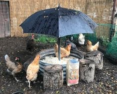 This is crazy:Snow-mageddon is on, the Polar Vortex is freezing and your chickens are literally cooped up. Fun, warm days slinging treats in green grasses with my butt planted in a lawn chair enjoying a micro-brew with the chickens a. Chicken Garden, Chicken Life, Backyard Chicken Coops, Chickens Backyard, Chicken Swing, Chicken Coop Sand, Inside Chicken Coop, Chicken Hut, Small Chicken Coops